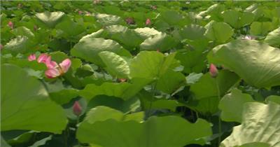 自然植物类荷花A_batch中国高清实拍素材宣传片
