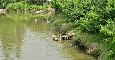 农村鸭子养殖