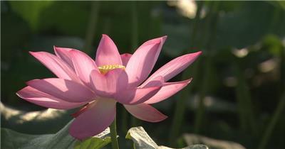 自然植物类荷花B_batch中国高清实拍素材宣传片