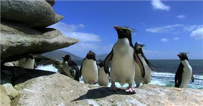 寒冷南极生活可爱企鹅蹒跚而行动物生活南极风光高清视频实拍