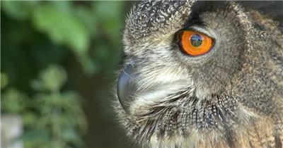猫头鹰 Owl 高清视频全集_batchStoc Video高清视频素材下载 led视频背景 led下载