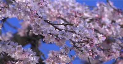 唯美樱花+AM051-27+视频下载-典尚视频素材网-sp.jzsc.net