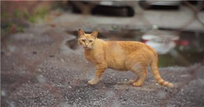 街道上可爱小猫凝视行走回头观望动物生活姿态高清视频拍摄