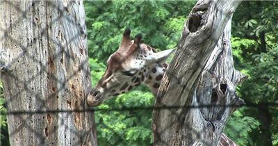 公园游客观赏长颈鹿动物系列树上寻找觅食高清视频实拍