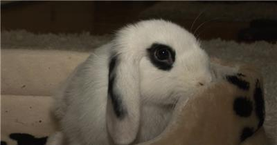 家养可爱兔子寻找食物抖动鼻子动物生活记录高清视频实拍
