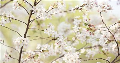 春天美丽樱花实拍视频