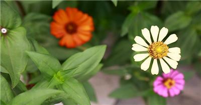美丽对叶菊高清实拍
