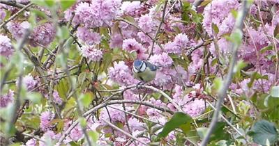 烂漫花树灵动小鸟花休息玩耍对焦近距动物生活高清视频拍摄