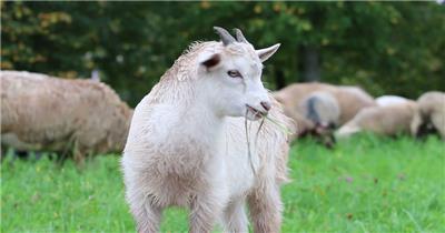 美丽鲜花草原羊群结队羔羊吃草动物生活姿态特写镜头高清视频实拍