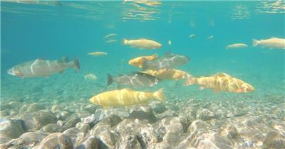 冷水鱼鲑鱼潜水