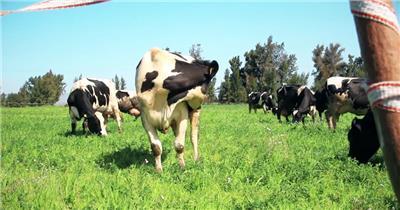 农场绿油油草地成群结队母牛吃草晒太阳动物生活高清视频实拍