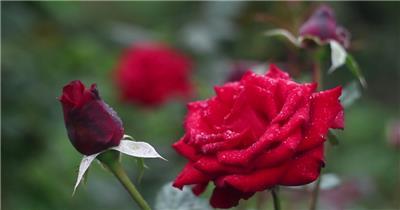 花丛百花竞艳醉人娇艳红玫瑰绽开花瓣伴随露水植物高清视频实拍