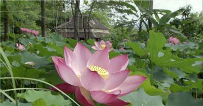 0612-荷花2-自然美景-植物类