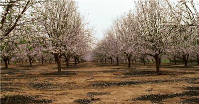 春色樱花生机勃勃绽放飘扬记录延时高清视频拍摄实拍