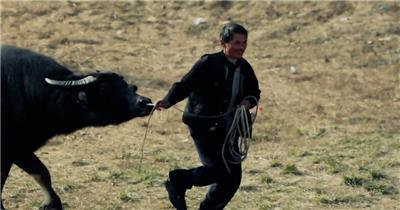 贵州斗牛节动物竞技激烈碰撞人群围观浓厚节日气氛视频实拍