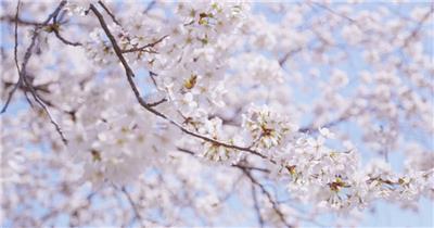 樱花在阳光沐浴下温柔的绽放变化镜头记录高清视频实拍