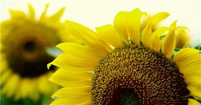 漫山遍地的春天的花朵视频