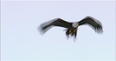 0591-鹰04 动物类