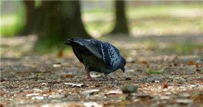 灰色鸽子公园行走觅食休息鸟类姿态特写镜头高清视频实拍