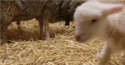 新生命诞生小羔羊活蹦乱跳绵羊共同生活动物特写高清视频实拍