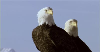 0588-鹰01动物视频动物动作