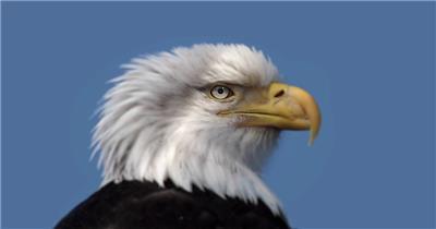 白头鹰特写中国实拍视频素材 视频下载中国实拍