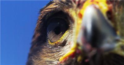 0578-雄鹰-眼睛特写1动物视频动物动作