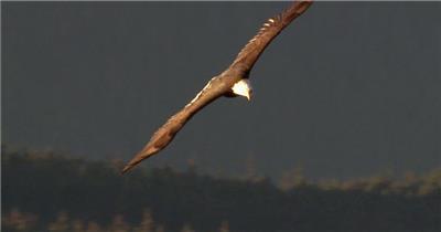 0595-鹰08动物视频动物动作