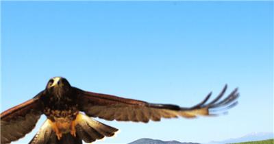 0571-雄鹰-活捉山鸡整个过程动物视频动物动作