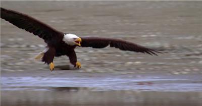 0596-鹰09动物视频动物动作