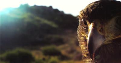 0573-雄鹰-特写2动物视频动物动作