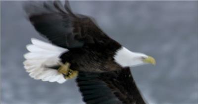 0590-鹰03 动物类