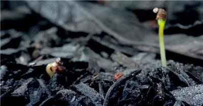 0664-嫩芽快速生长2(灰烬后的废墟上) 15-植物快速生长-1