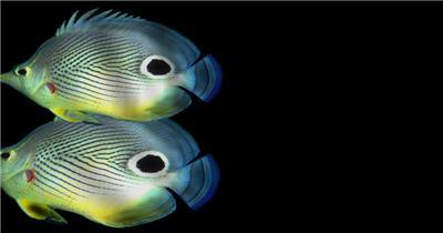 海底世界小鱼游动遮罩素材2 дискуса-перех大海 海边 海洋