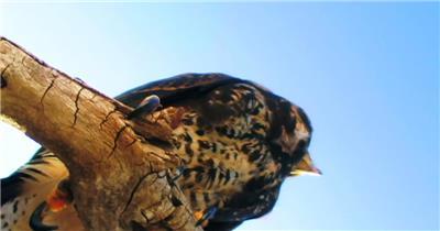 0575-雄鹰-特写4动物视频动物动作