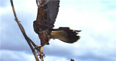 0577-雄鹰-雄鹰展翅1动物视频动物动作