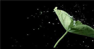 0615-荷叶与水滴2-自然美景-植物类