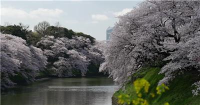 高清实拍樱花视频素材