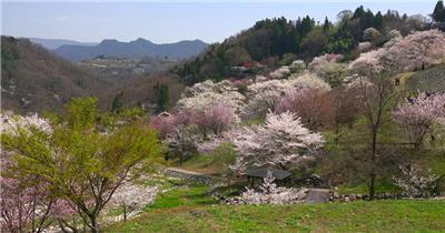 [4K] 山间樱花 4K片源 超高清实拍视频素材 自然风景山水花草树木瀑布超清素材