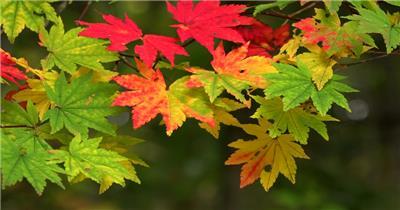 [4K] 深山红叶 4K片源 超高清实拍视频素材 自然风景山水花草树木瀑布超清素材