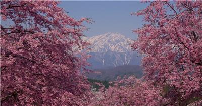 [4K] 盛开的樱花 4K片源 超高清实拍视频素材 自然风景山水花草树木瀑布超清素材