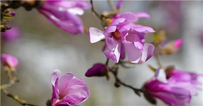 [4K] 桃花盛开的季节 4K片源 超高清实拍视频素材 自然风景山水花草树木瀑布超清素材