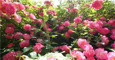 [4k] 盛开中的美丽花朵 4K片源 超高清实拍视频素材 自然风景山水花草树木瀑布超清素材