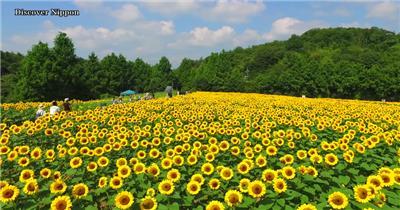 [4K] 盛开的向日葵花 4K片源 超高清实拍视频素材 自然风景山水花草树木瀑布超清素材