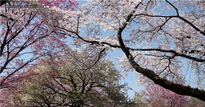[4K] 日本樱花 4K片源 超高清实拍视频素材 自然风景山水花草树木瀑布超清素材