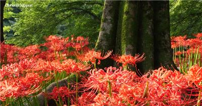 [4k] 红色的彼岸花 4K片源 超高清实拍视频素材 自然风景山水花草树木瀑布超清素材