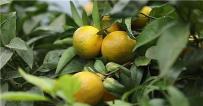 柑橘 果树 结果 挂果 丰收 特写 高清视频素材