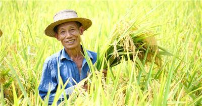 水稻丰收素材喜悦水稻稻田收谷子